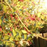 Ilex aquifolium 'J.C. Van Tol' - Hulst - Ilex aquifolium 'J.C. Van Tol'