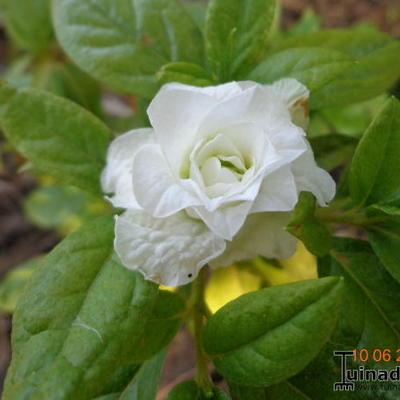 Rhododendron 'White Rosebud' -