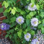 Clematis 'Blue Light' - Bosrank
