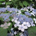 Hydrangea serrata 'Aigaku' - Japanse berghortensia - Hydrangea serrata 'Aigaku'