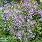 Chinese ruit - Thalictrum delavayi 'Hewitt's Double'