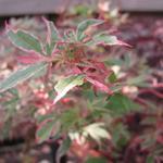 Acer palmatum 'Beni Shichihenge' - Japanse esdoorn