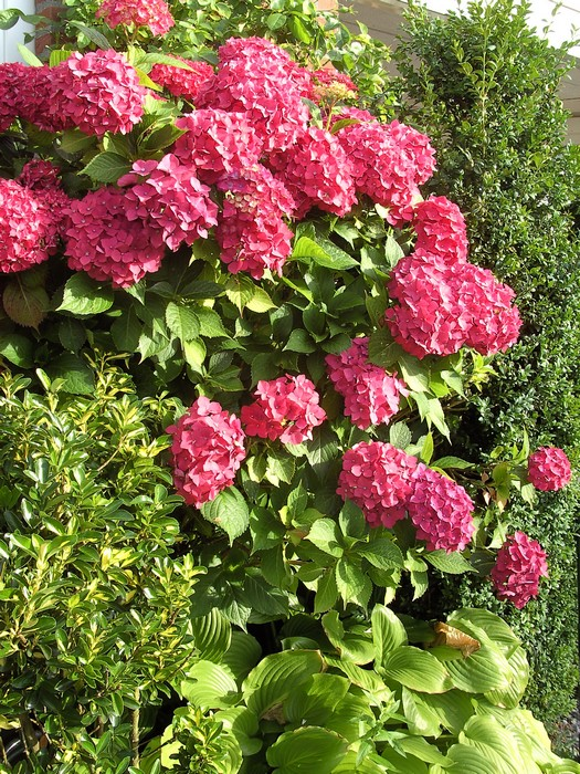 hortensia hydrangea macrophylla 39 leuchtfeuer 39 planten online kopen. Black Bedroom Furniture Sets. Home Design Ideas