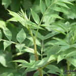 Glycyrrhiza yunnanensis - Glycyrrhiza yunnanensis - Chinees Zoethout