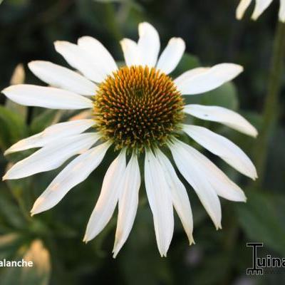 Echinacea purpurea 'Avalanche' -