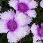 Dianthus chinensis 'Diana Lavendel Picotee' -