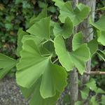 Ginkgo biloba - Japanse notenboom - Ginkgo biloba