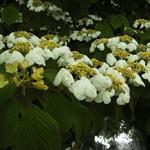 Japanse sneeuwbal - Viburnum plicatum 'Mariesii'