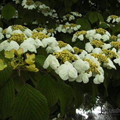 Viburnum plicatum 'Mariesii' - Japanse sneeuwbal - Viburnum plicatum 'Mariesii'