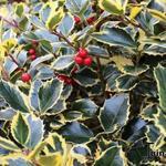 Ilex aquifolium 'Golden van Tol' - Bonte hulst - Ilex aquifolium 'Golden van Tol'