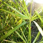 Cyperus rotundus - Cyperus rotundus - Papyrusplant , rond cypergras