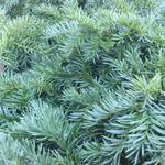 Taxus baccata 'Repandens' - Taxus baccata 'Repandens' - Venijnboom, bodembedekkende