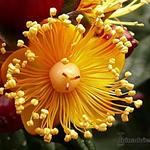 Hypericum 'Magical Beauty' - Hypericum 'Magical Beauty' - Hertshooi, Sint-Janskruid