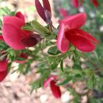 Cytisus scoparius 'Boskoop Ruby' - Brem