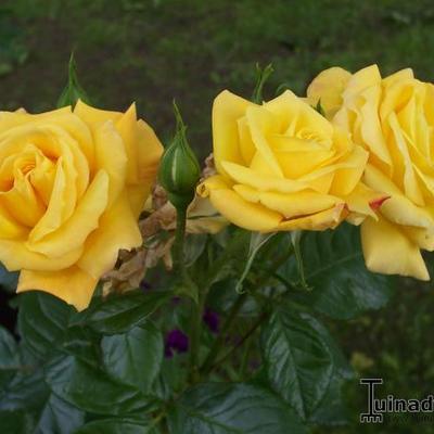 Rosa 'Arthur Bell' -