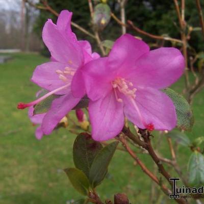 Rhododendron 'Praecox' - Rododendron - Rhododendron 'Praecox'