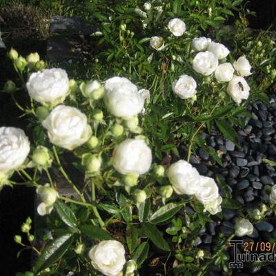 Rosa 'White Morsdag' -