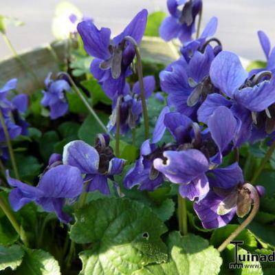 Viola odorata -