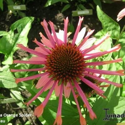 Echinacea purpurea 'Orange Spider' -