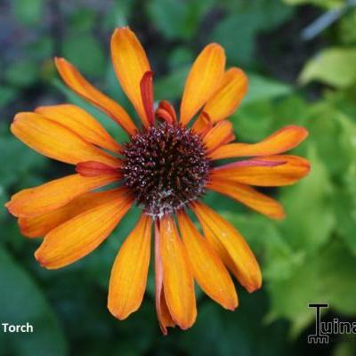 Echinacea purpurea 'Tiki Torch' -