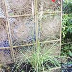 Cortaderia selloana 'Evita' - Cortaderia selloana 'Evita' - Pampasgras