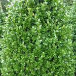 Buxus sempervirens 'Rotundifolia' - Buxus, palm