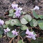 Cyclamen coum f. pallidum - Cyclamen coum f. pallidum - Alpenviooltje
