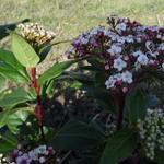 Sneeuwbal - Viburnum tinus 'Spirit'