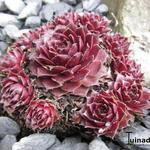 Sempervivum 'Rubin' - Huislook - Sempervivum 'Rubin'