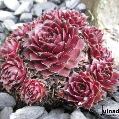 Sempervivum 'Rubin' -