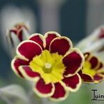 Primula 'Gold Lace Hybrids' - Primula 'Gold Lace Hybrids' - Sleutelbloem
