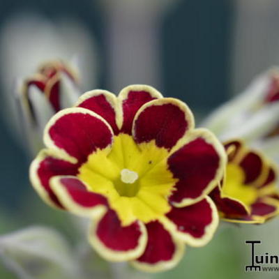 Primula 'Gold Lace Hybrids' -