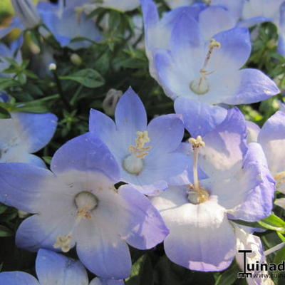 Campanula isophylla 'Starina Bicolor Star' -