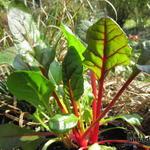 Beta vulgaris subsp. cicla 'Bright Lights' - Beta vulgaris subsp. cicla 'Bright Lights' - Snijbiet