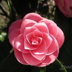 Camellia japonica (Roze) - Camelia - Camellia japonica (Roze)