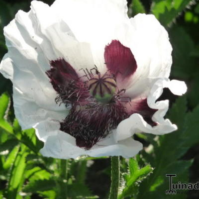 Papaver - Papaver orientale 'Royal Wedding'