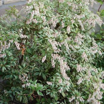 Pieris japonica 'Little Heath'