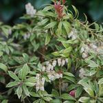 Pieris japonica 'Little Heath' - Rotsheide - Pieris japonica 'Little Heath'