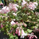 Kolkwitzia amabilis 'Pink Cloud' - Koninginnestruik, Koninginnenstruik, - Kolkwitzia amabilis 'Pink Cloud'