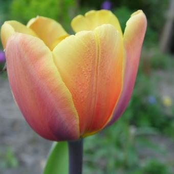 Tulipa 'Indian Summer'