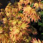 Japanse esdoorn - Acer palmatum 'Orange Dream'