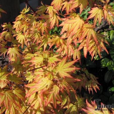 Acer palmatum 'Orange Dream' -