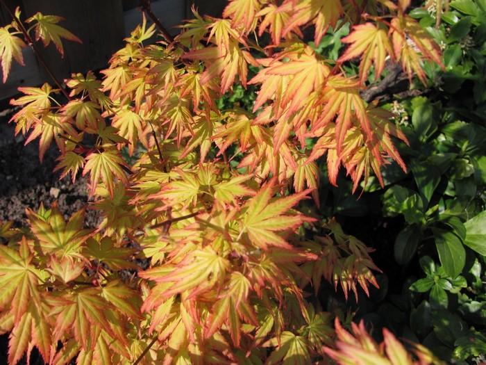japanse esdoorn acer palmatum 39 orange dream 39 planten. Black Bedroom Furniture Sets. Home Design Ideas