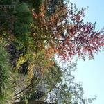 Liquidambar styraciflua 'Lane Roberts' - Amberboom, Vloeiend amber - Liquidambar styraciflua 'Lane Roberts'