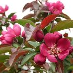 Malus  'Royalty' - Malus  'Royalty' - Sierappel