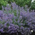 Nepeta racemosa 'Blue Wonder' - Kattekruid - Nepeta racemosa 'Blue Wonder'