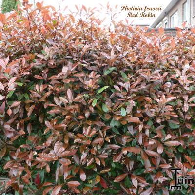 Foto 39 s van glansmispel photinia x fraseri 39 red robin 39 - Photinia x fraseri red robin ...