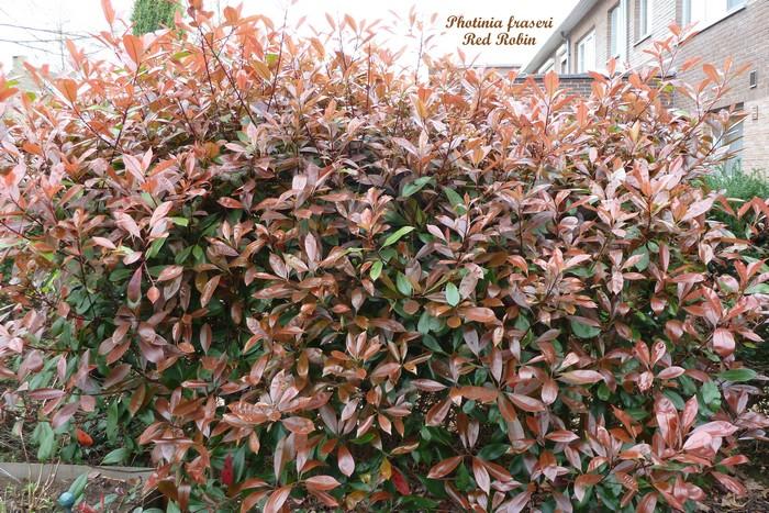 Glansmispel photinia x fraseri 39 red robin 39 planten - Photinia x fraseri red robin ...