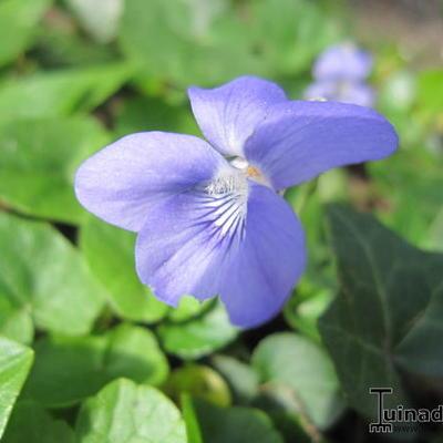 Viola riviniana -