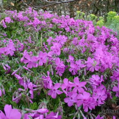 Phlox subulata 'Emerald Pink' -